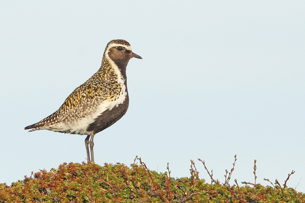 Goldregenpfeifer, European Golden Plover (Pluvialis apricaria)