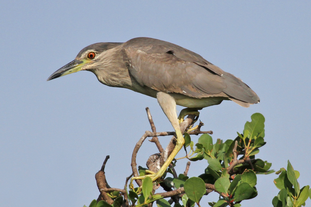 Nachtreiher, Black-crowned Night Heron (Nycticorax nycticorax) / Kalametiya
