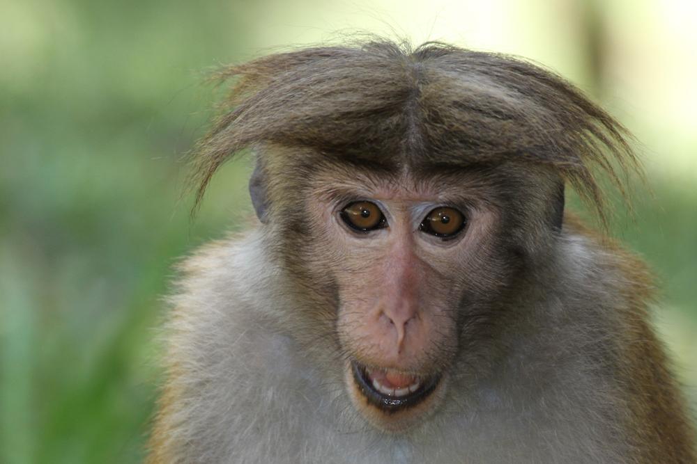 Ceylon-Hutaffe, Toque Macaque (Macaca sinica) / Nuwara Eliya