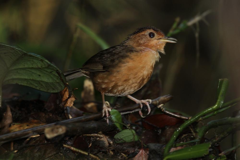 Braunkappen-Erdtimalie, Brown-capped Babbler (Pellorneum fuscocapillus) / Sinharaja