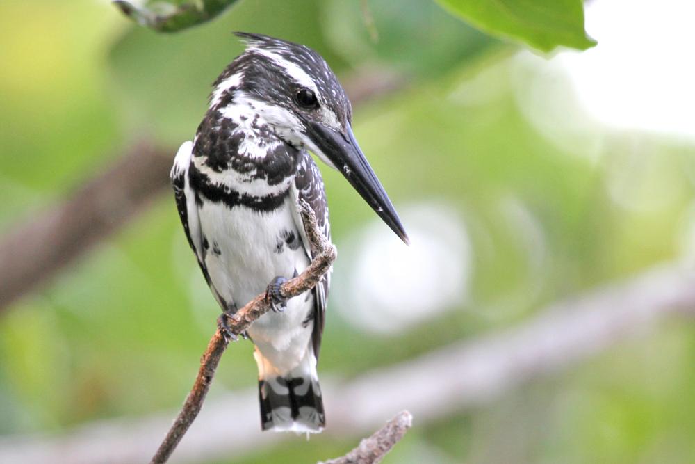Graufischer, Pied Kingfisher (Ceryle rudis) / Negombo