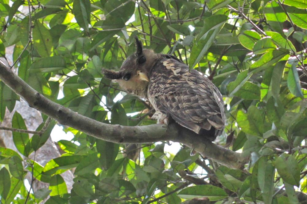 Nepaluhu, Spot-bellied Eagle-Owl (Bubo nipalensis) / Sinharaja