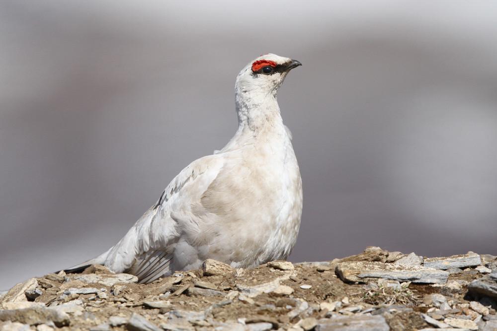 Alpenschneehühner, Rock Ptarmigan (Lagopus muta)