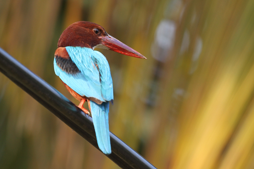 Braunliest, White-throated Kingfisher (Halcyon smyrnensis) / Negombo