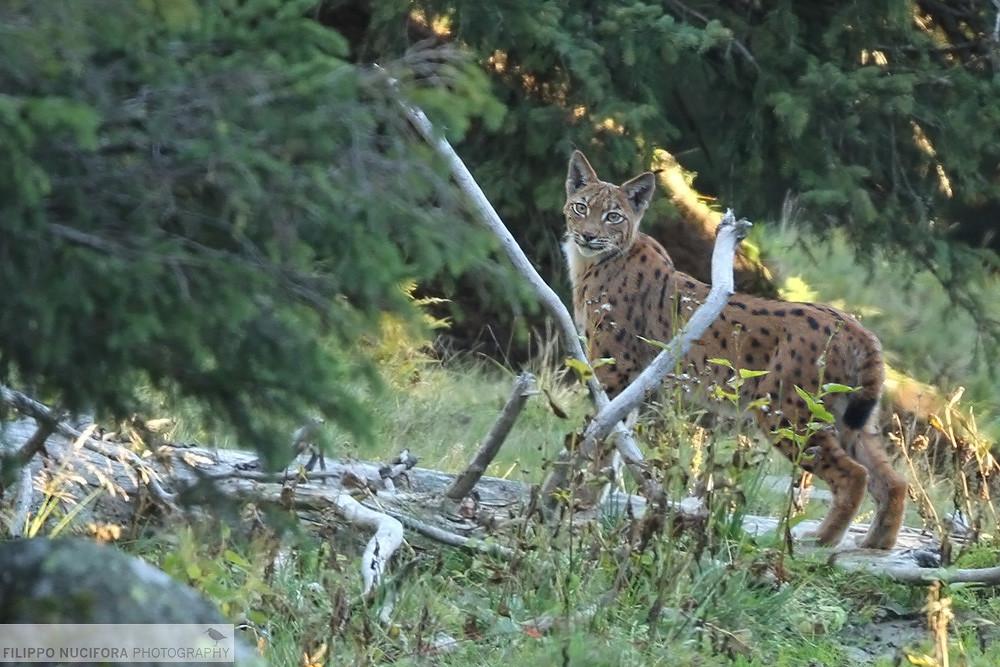 Eurasischer Luchs (Lynx lynx) - Wildlife Switzerland