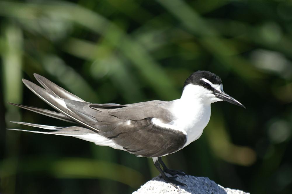 Zügelseeschwalbe, Bridled Tern (Onychoprion anaethetus) / Cousin