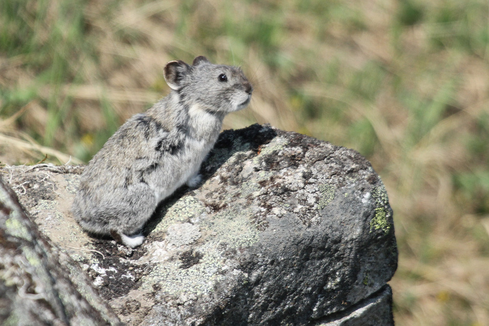 Alaska-Pfeifhase, Collared Pika (Ochotona collaris)