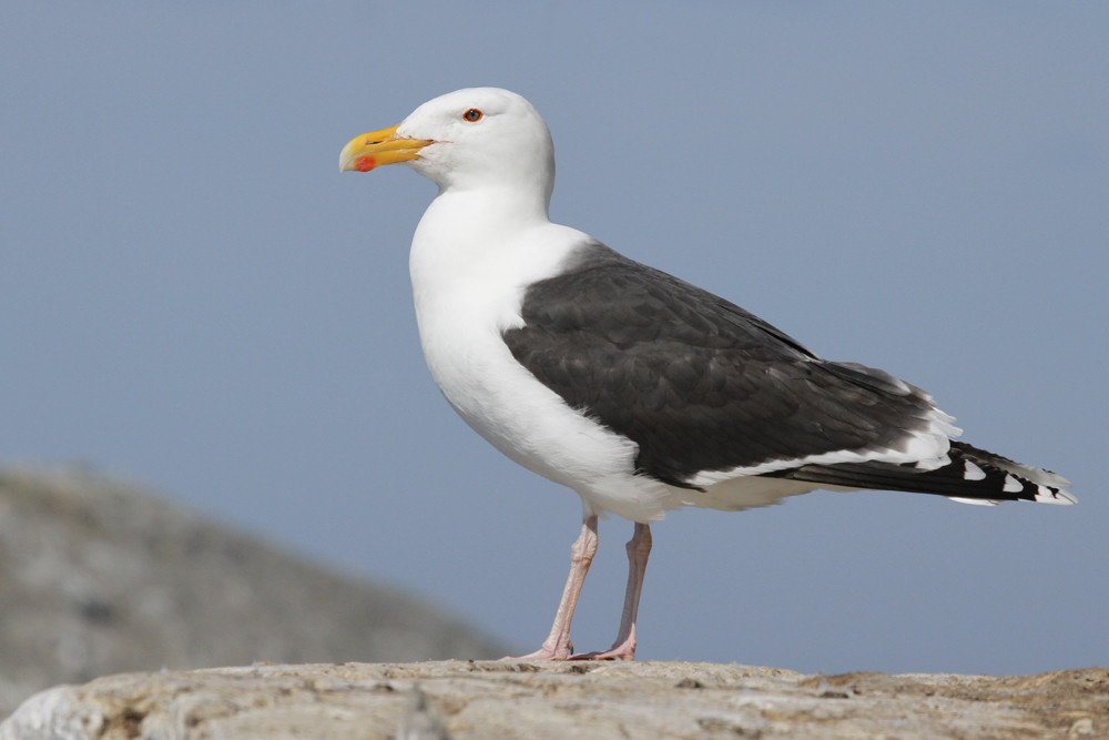 Mantelmöwe, Great Black-backed Gull (Larus marinus)