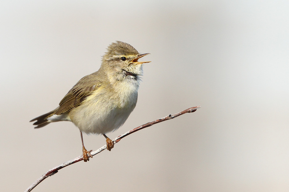 Fitis, Willow Warbler (Phylloscopus trochilus)