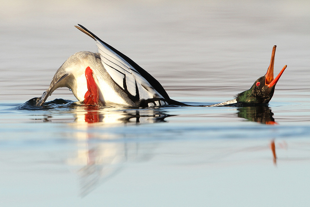 Mittelsäger, Red-breasted Merganser (Mergus serrator)