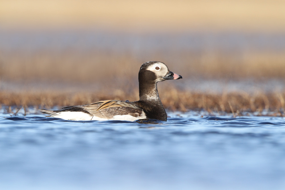 Eisente, Long-tailed Duck (Clangula hyemalis)