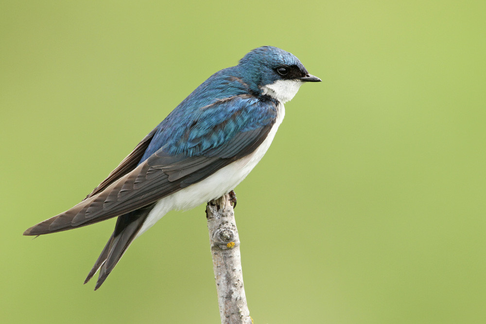 Sumpfschwalbe, Tree Swallow (Tachycineta bicolor)