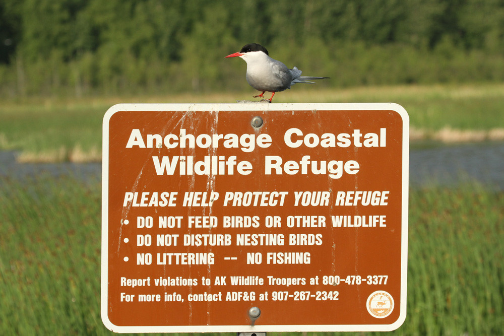 Küstenseeschwalbe, Arctic Tern (Sterna paradisaea)
