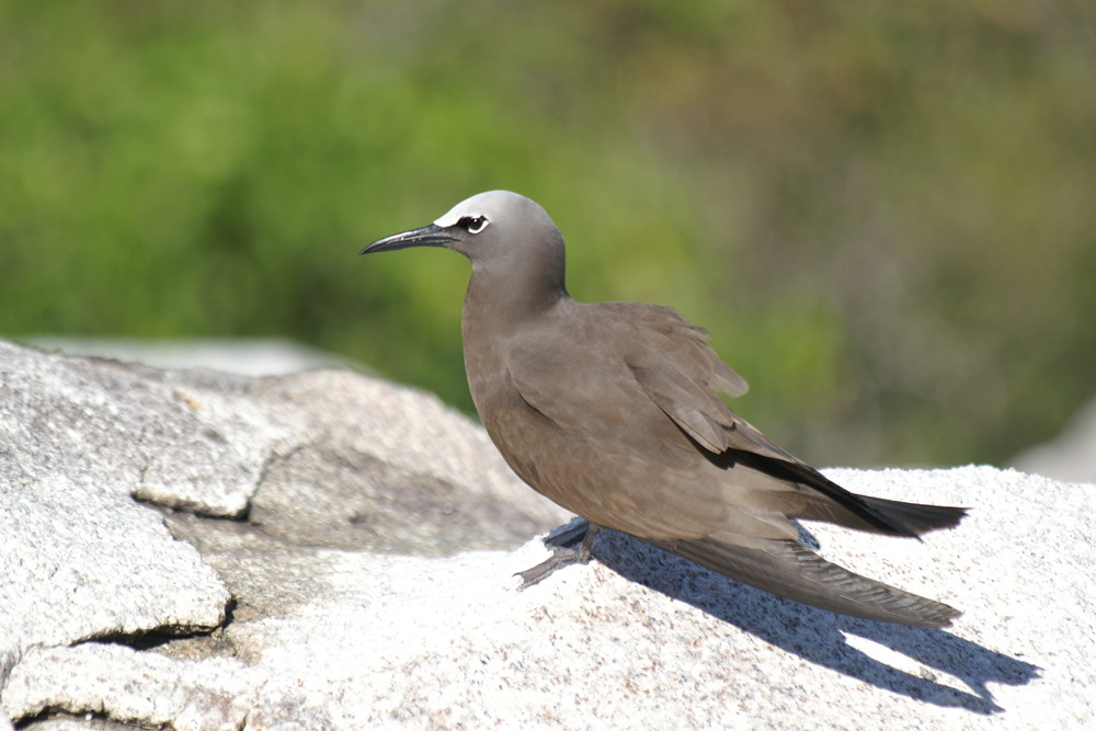 Noddiseeschwalbe, Brown Noddy or Common Noddy (Anous stolidus) / Cousin