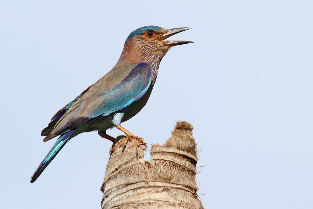 Hinduracke, Indian Roller (Coracias benghalensis) / Kalametiya