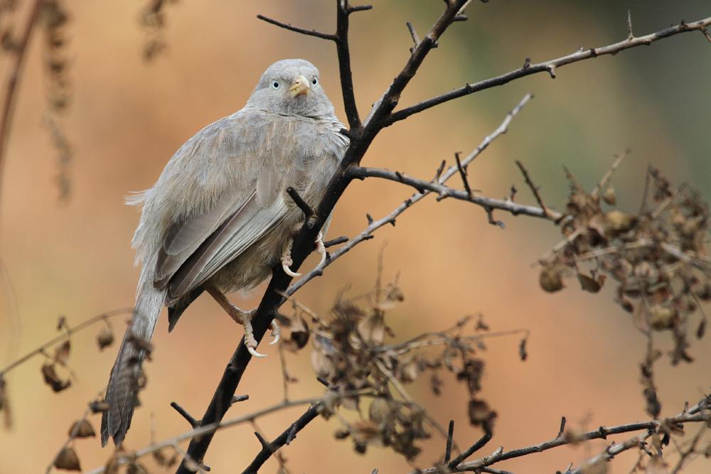 Gelbschnabeldrossling, Yellow-billed Babbler (Turdoides affinis) / Negombo