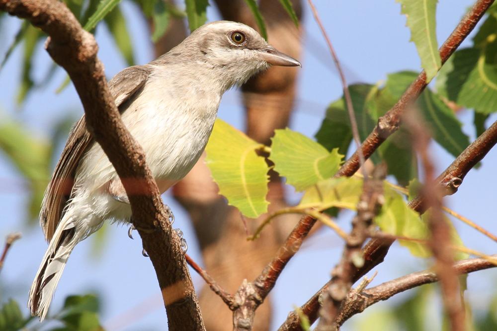 Kleiner Raupenwürger, Commom Woodshrike (Tephrodornis pondicerianus) / Kalametiya