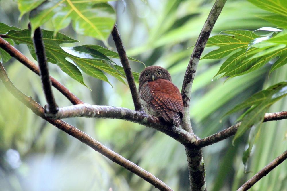 Prachtkauz, Chestnut-backed Owlet (Glaucidium castanotum) / Kitulgala