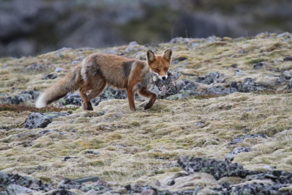 Rotfuchs, Red Fox (Vulpes vulpes)