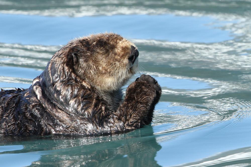 Seeotter, Sea Otter (Enhydra lutris)