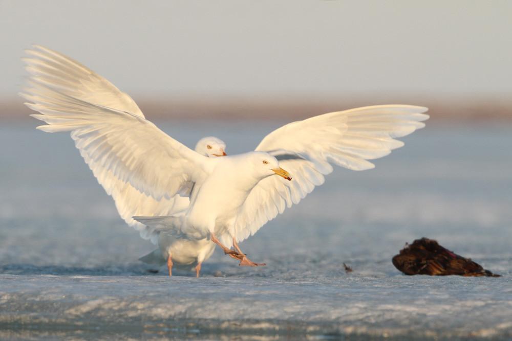 Polarmöwe + Eismöwe, Glaucous Gull (Larus hyperboreus)