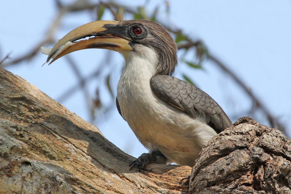 Ceylon-Grautoko, Sri Lanka Grey Hornbill (Ocyceros gingalensis) / Anawilundawa