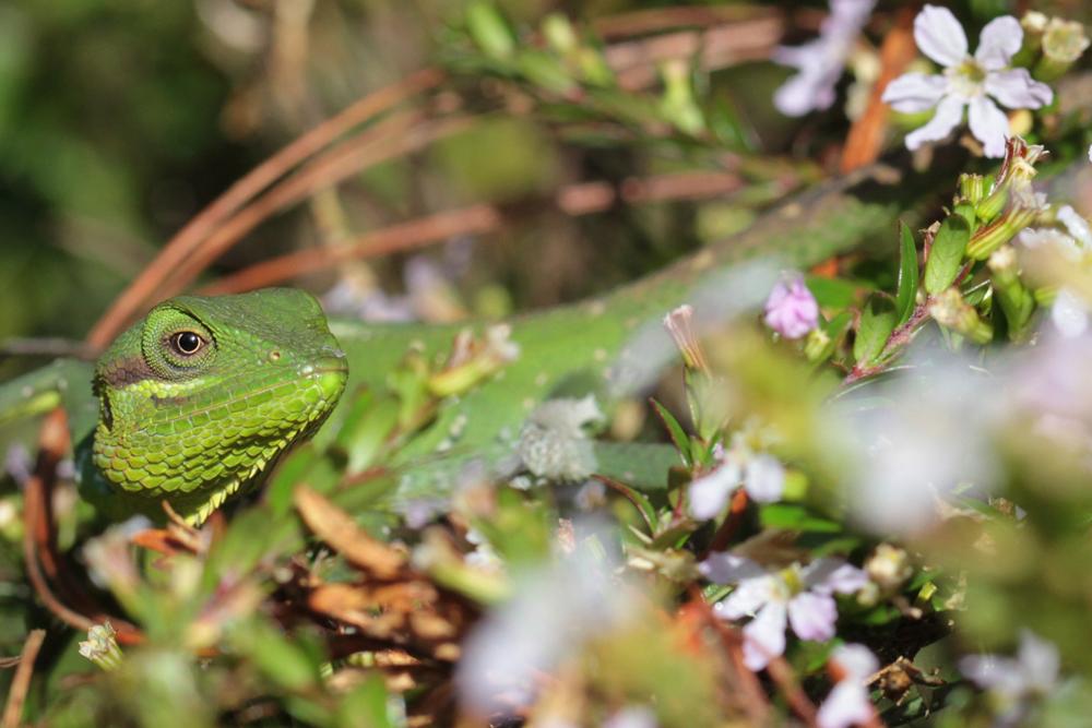 Hochlandagame, Black-cheek Lizard (Calotes nigrilabris) / Galway's Land National Park - Foto von Livia Haag