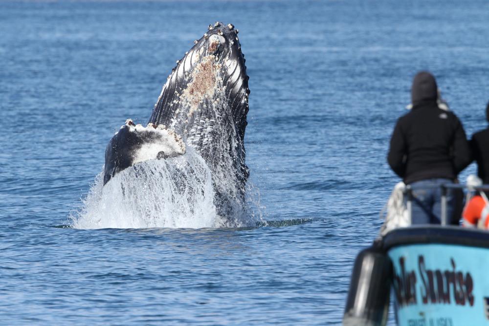 Buckelwal, Humpback Whale (Megaptera novaeangliae)