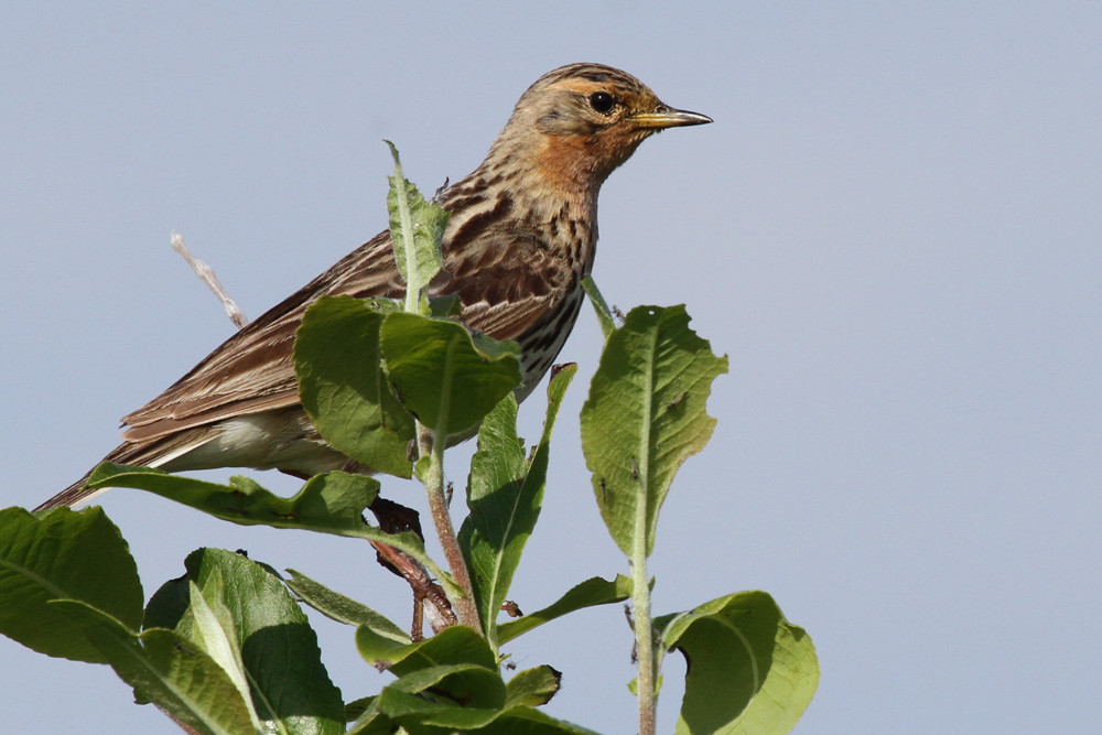 Rotkehlpieper, Red-throated Pipit (Anthus cervinus)