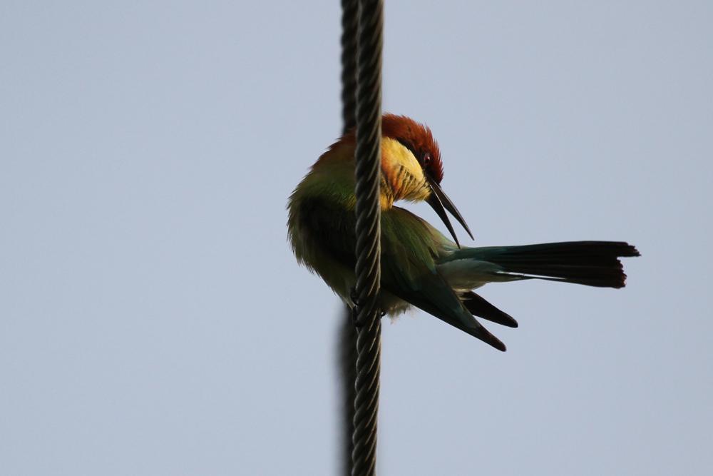 Braunkopfspint, Chestnut-headed Bee-eater (Merops leschenaulti) / Kalametiya