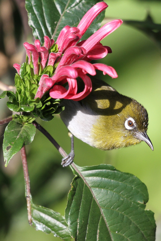 Ceylon-Brillenvogel, Ceylon White-eye (Zosterops ceylonensis) / Nuwara Eliya