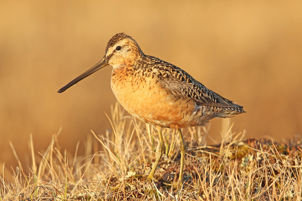 Grosser Schlammläufer, Long-billed Dowitcher (Limnodromus scolopaceus)