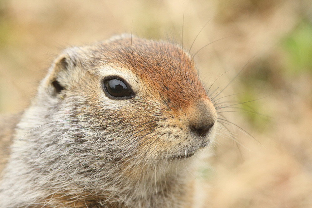 Arktischer Ziesel, Arctic Ground Squirrel (Urocitellus parryii)