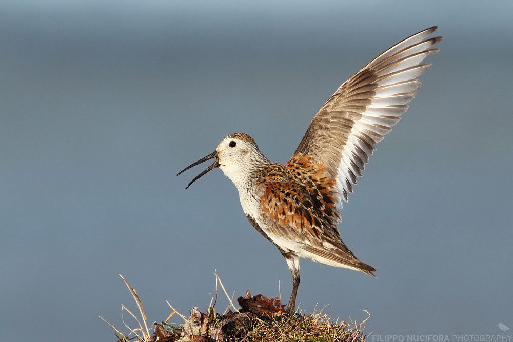 Alpenstrandläufer (Calidris alpina ssp. arcticola)