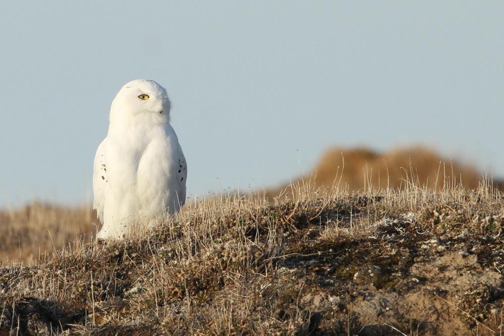 Schnee-Eule, Snowy Owl (Bubo scandiacus)