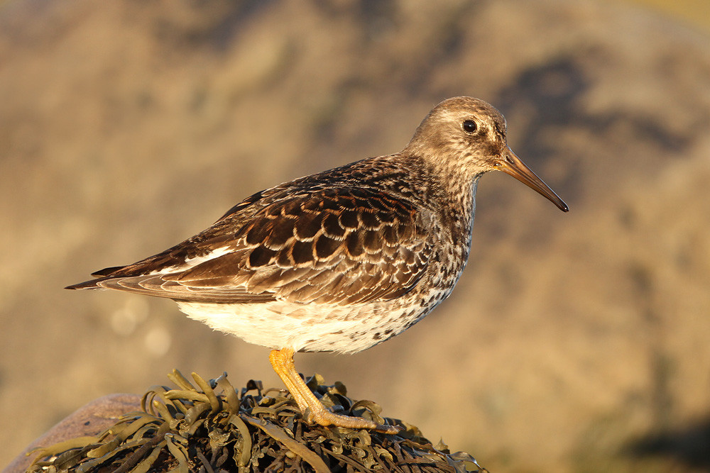 Meerstrandläufer, Purple Sandpiper (Calidris maritima)