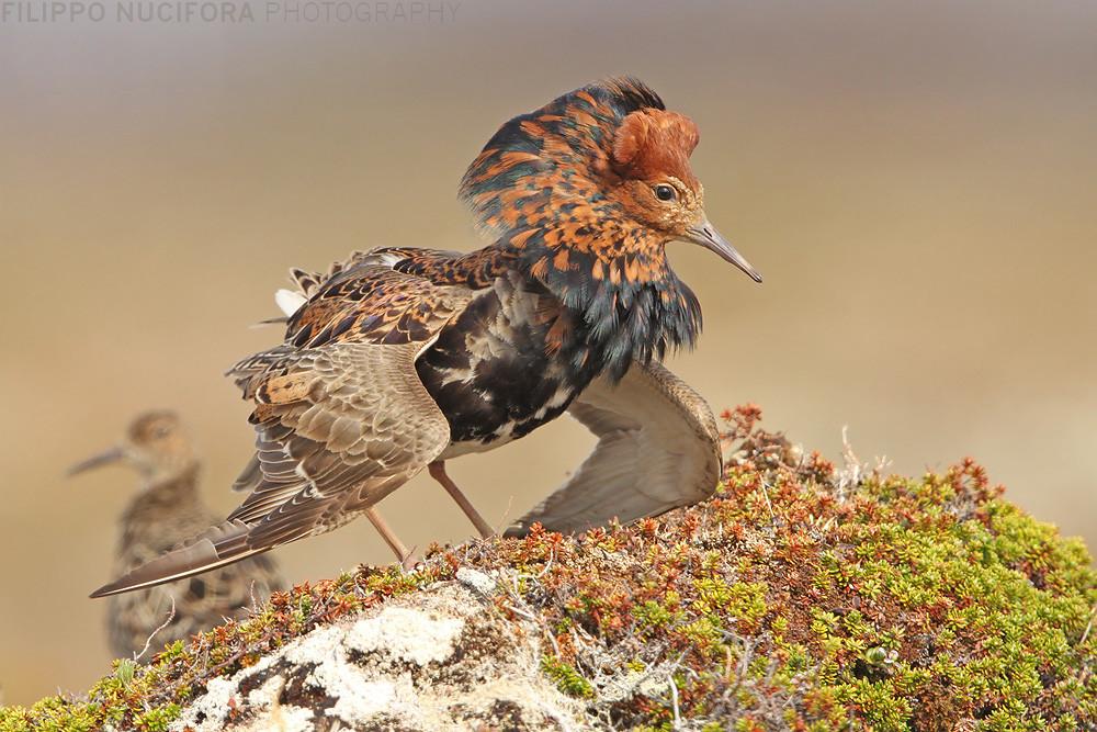 Kampfläufer (Philomachus pugnax)