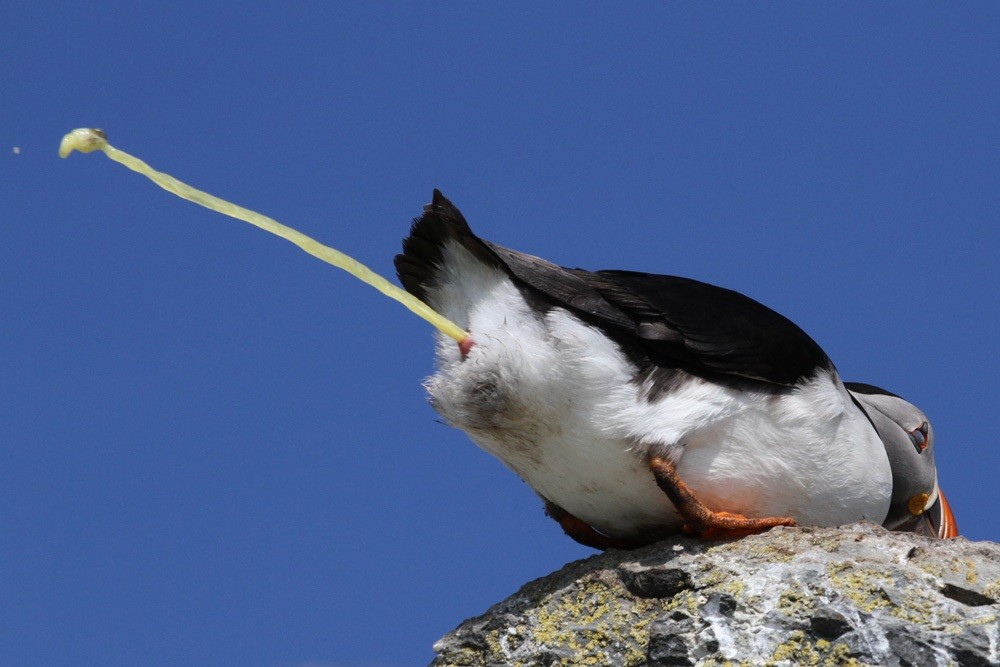 Papageitaucher, Atlantic Puffin (Fratercula arctica)