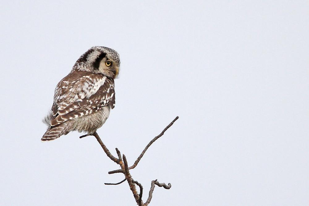 Sperbereule, Northern Hawk-Owl (Surnia ulula)
