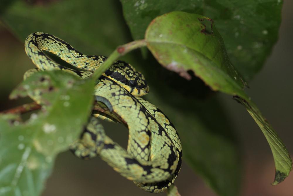 Ceylon-Lanzenotter, Green Pit Viper (Trimeresurus trigonocephalus) / Sinharaja - Foto von Livia Haag