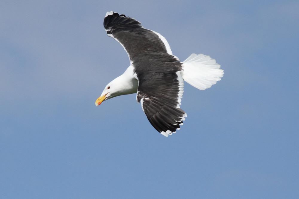 Mantelmöwe, Great Black-backed Gull (Larus marinus)