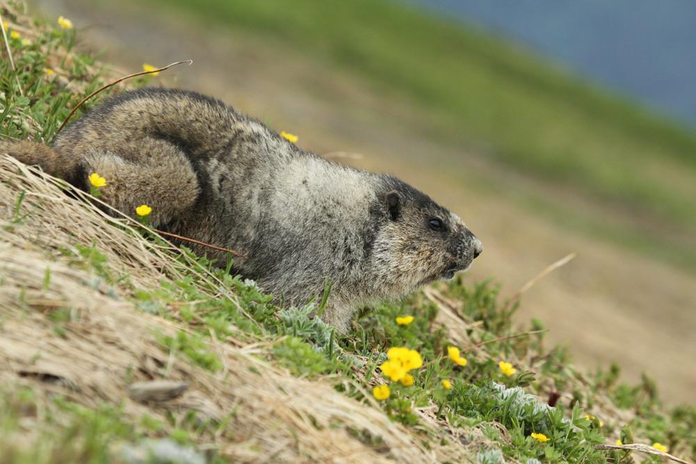 Eisgraues Murmeltier, Hoary Marmot (Marmota caligata)