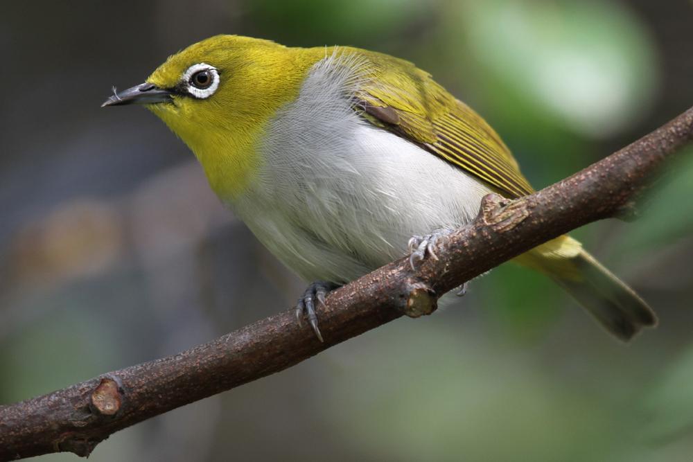 Ganges-Brillenvogel, Oriental White-eye (Zosterops palpebrosus) / Kalametiya