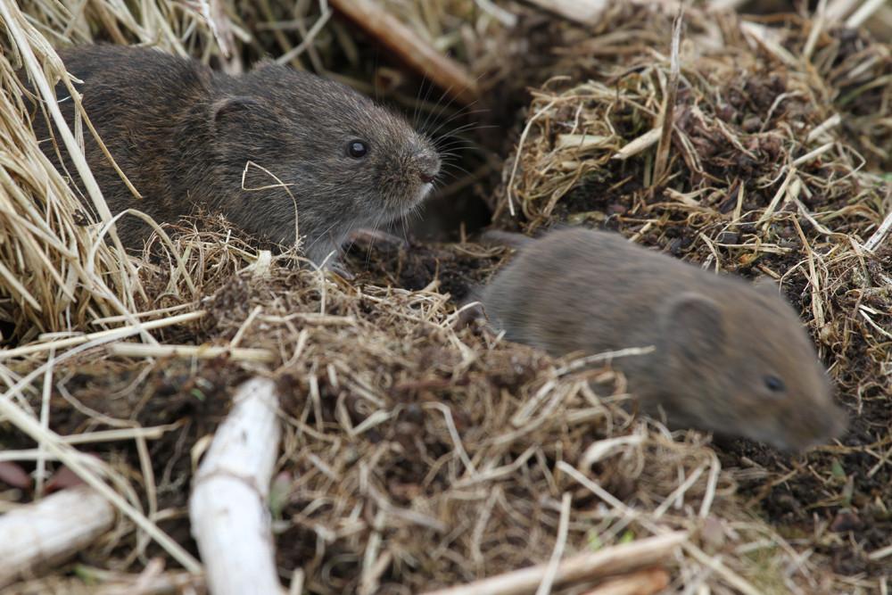 Nordische Wühlmaus, Tundra Vole (Microtus oeconomus)