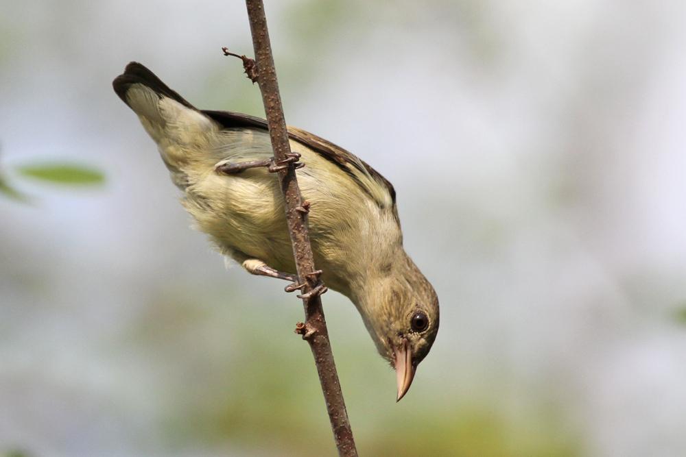 Lachsschnabel-Mistelfresser, Pale-billed Flowerpecker (Dicaeum erythrorhynchos) / Negombo