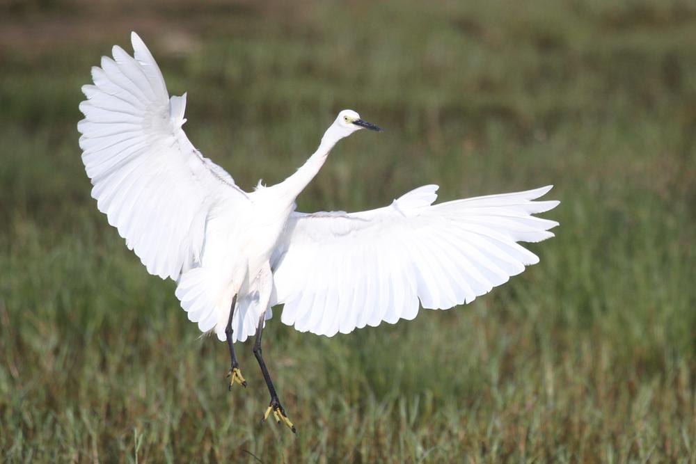 Seidenreiher, Little Egret (Egretta garzetta) / Kalametiya