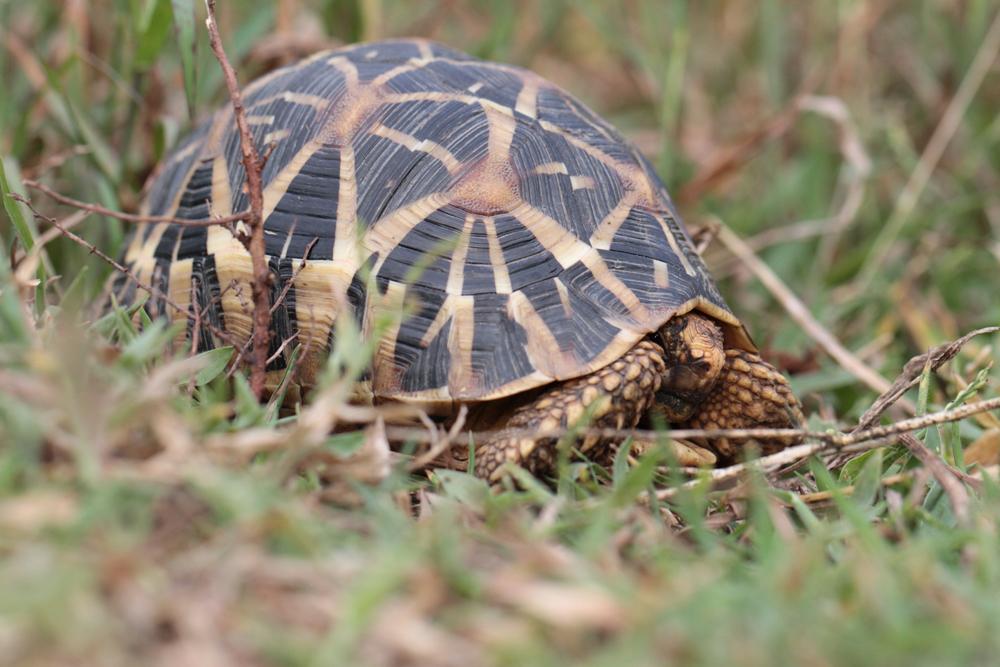 Indische Sternschildkröte, Indian star tortoise (Geochelone elegans) / Anawilundawa