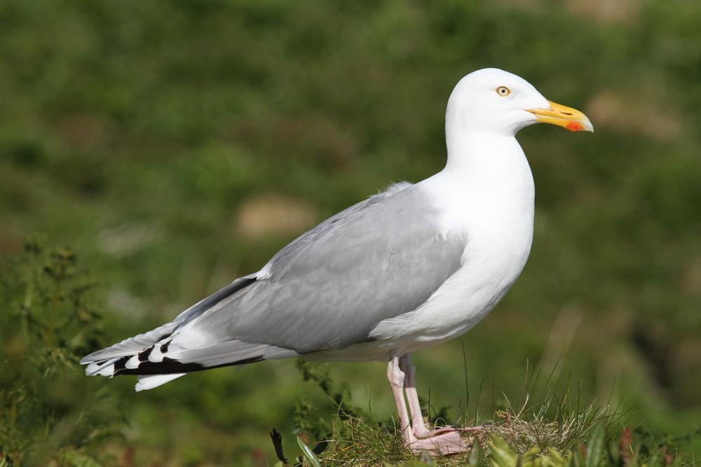 Silbermöwe, European Herring Gull (Larus argentatus)