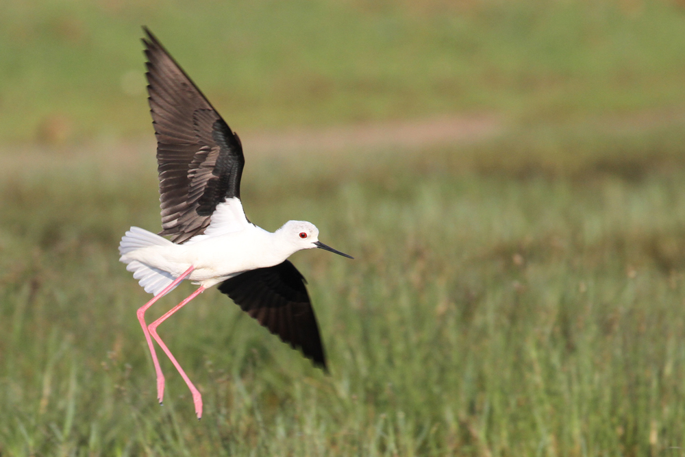 Stelzenläufer, Black-winged Stilt (Himantopus himantopus) / Kalametiya