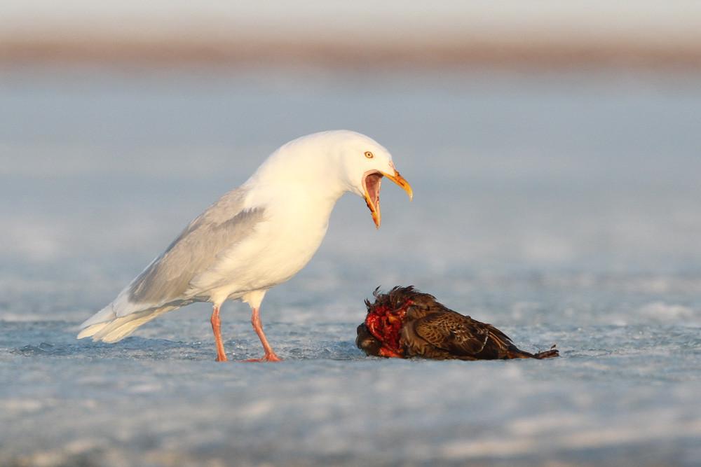 Eismöwe, Glaucous Gull (Larus hyperboreus)